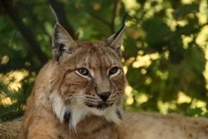 lincoln-lynx