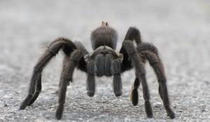 gabbs-tarantula