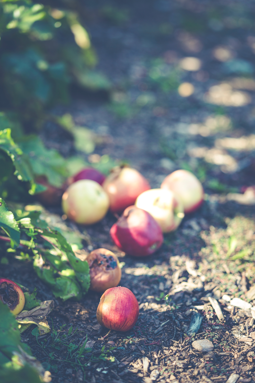 henrietta creek apple orchard